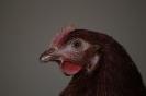 Unsere Hühner_2