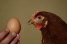Unsere Hühner_4