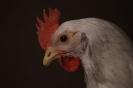 Unsere Hühner_5