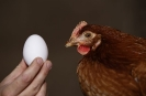 Unsere Hühner_6