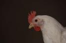Unsere Hühner_9